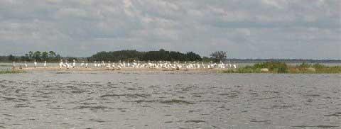 White Pelican Island, Cedar Key, Florida