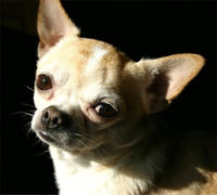 Limbo Chihuahua & Chihuahua Mix Rescue